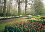 Tulips Garden Netherlands Wall Mural DS8064